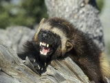 Wolverine  Snarling in the Foothills of the Rocky Mountains  USA