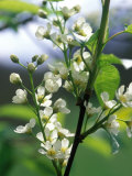 Prunus Padus (Bird Cherry)  Almond-Scented White Flowers  Late Spring