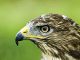Common Buzzard  Profile Portait  UK
