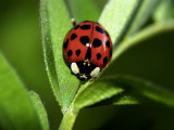Nine Spotted Lady Bug Beetle
