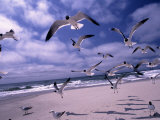 Gulls Flying Over Beach  Ocracoke Island  NC