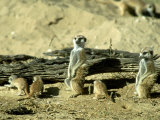 Meerkat (Suricate)  Adults Watching Over Young Pups  Kalahari Gemsbok National Park