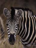 Burchell's Zebra  Equus Burchelli