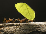 Leaf-Cutter Ants  Carrying Leaves  Costa Rica