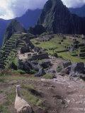 Inca Ruins of Machu Picchu  Llama  Peru