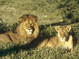 African Lion  Pair  East Africa