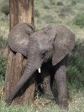 African Elephant Baby  Loxodonta Africana