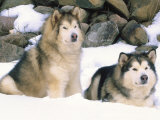 Alaskan Malamutes in the Snow