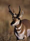 Pronghorn Antelope  Antilocapra Americana