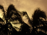 Silhouette of Palm Trees  Cayman