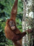 Adolescent Sumatran Orangutan  Indonesia