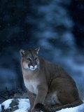 Mountain Lion in Snow  Felis Concolor  MT