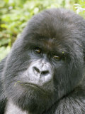 Mountain Gorilla  Male Silverback Portrait  Rwanda