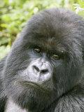 Mountain Gorilla  Male Silverback Portrait  Rwanda