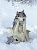 Gray Wolves  Show of Dominance Among Pack  Montana