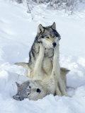 Gray Wolves, Show of Dominance Among Pack, Montana Papier Photo par Daniel J. Cox