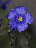 Blue Flax  Belmar Park  Colorado