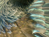 Tui  Feather Detail  New Zealand