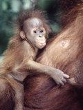 Sumatran Baby Orangutan  Pongo Pygmaeus  Indonesia