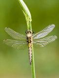 Black Tailed Skimmer Dragonfly  Female Drying  UK