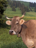 Brown Swiss Cow  Switzerland