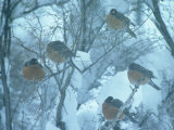 Robins on Branches in Winter  Salida  Colorado