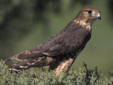 Merlin  Falco Columbarius