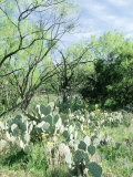 Prickly Pear Cactus  Texas