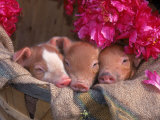 Piglets in Barrel with Flower