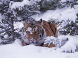 Siberian Tiger  Panthera Tigris Altaica