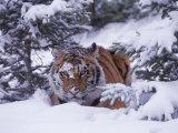 Siberian Tiger  Panthera Tigris Altaica