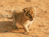 Lion Cub in Africa