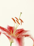 Robrum Lily