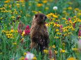 Marmot  CO