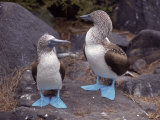 Blue Footed Boobies  Ecuador