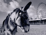 Donkey at Shorefront, Blackpool, England Papier Photo par Walter Bibikow