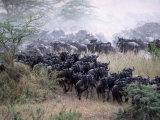Wildebeests Migrating  Tanzania