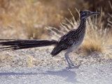 Roadrunner Geococcyx Californianus  Joshua Tree National Park