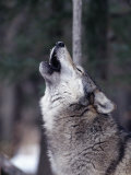 Grey Wolf Howling  Canis Lupus