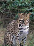 Ocelot (Felis Pardalis)
