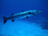 Giant Barracuda  FL
