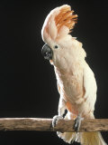 Moluccan Cockatoo