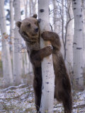 Grizzly Bear Grabbing Tree  North America