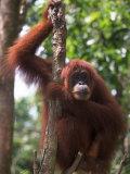 Sumatran Orangutan  Pongo Pygmaeus  Indonesia