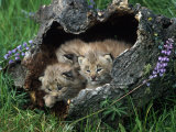 Lynx Kittens  Lynx Canadensis  MT