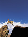 Mountain Lion Leaping  Southwest US