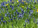 Hyacinthoides Non-Scripta  Bluebell