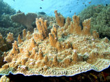 Plate Corals  Komodo  Indonesia