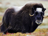 Musk Ox  Adult Female on Tundra  Norway