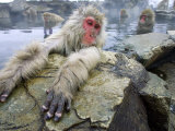 Japanese Macaques or Snow Monkeys  Adult in Foreground with Arms Extended on Rock  Honshu  Japan